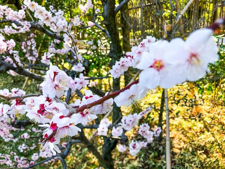 清澄庭園の梅