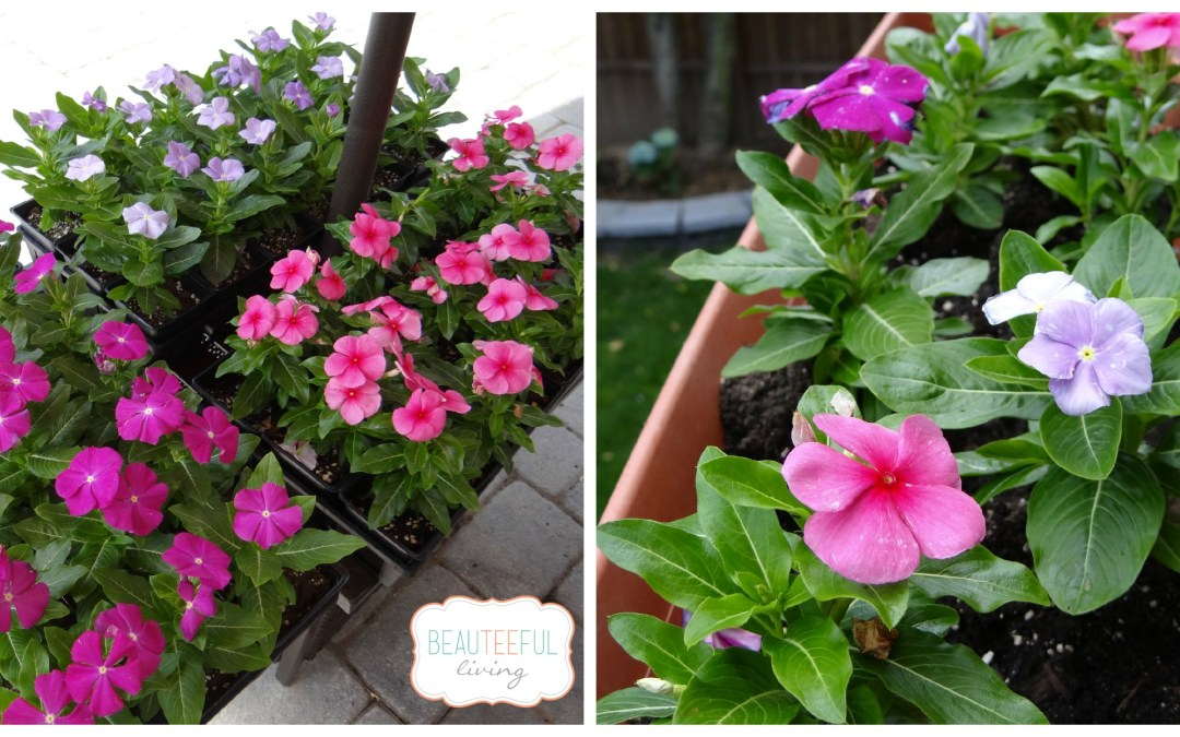 Flowering Vincas and Garden Container Idea