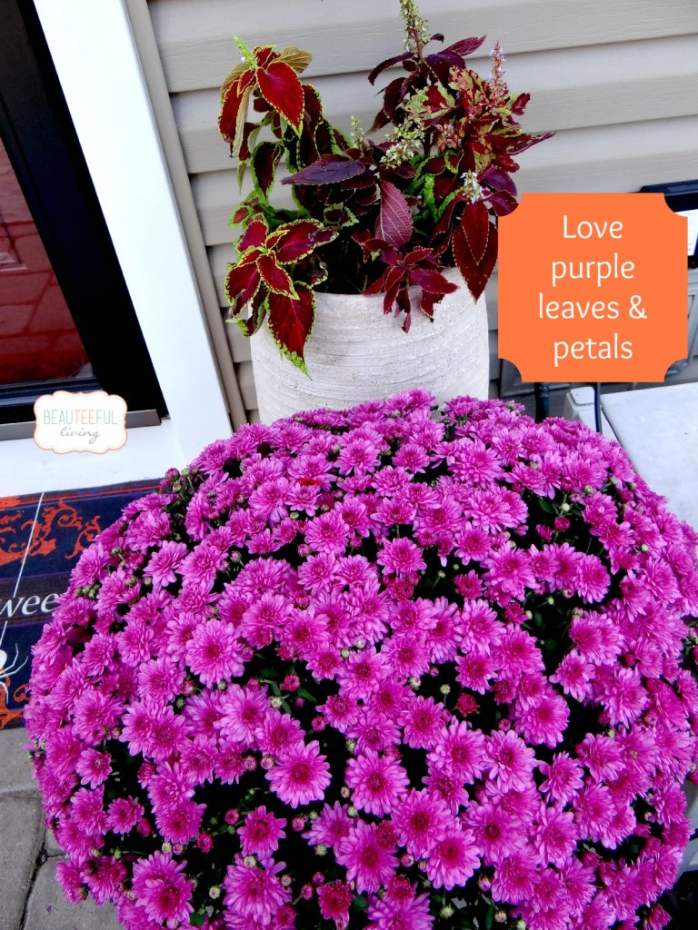 purple mums and leaves