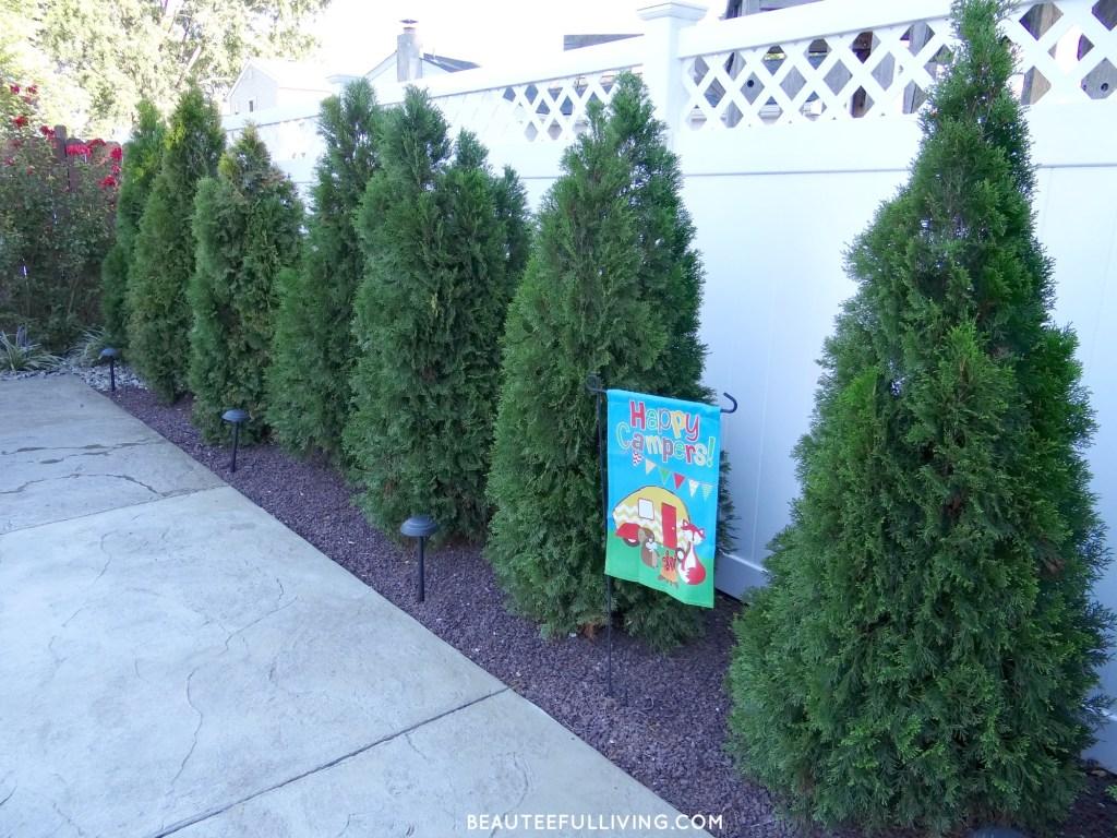 arborvitae-shrubs