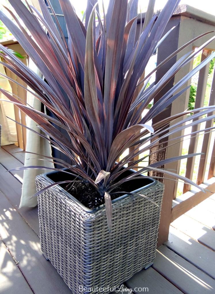 Dracena plant - Beauteeful Living