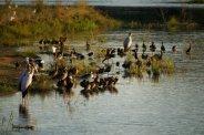 Storks and whistling ducks