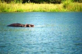 Hippo Mama and baby