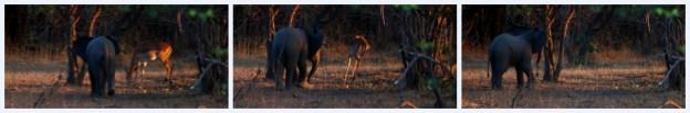 Baby Elephant and Impala