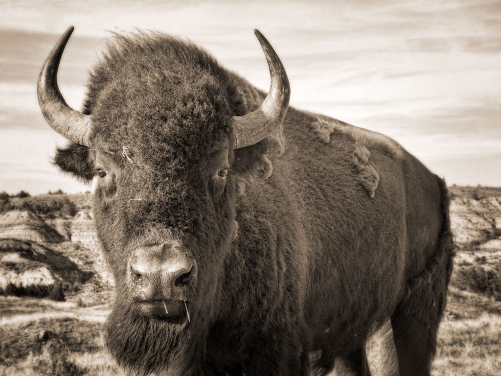 Close up of a bison in the hill country of the North Dakota Badlands