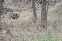 mule-deer-doe-with-burrs-sig-small