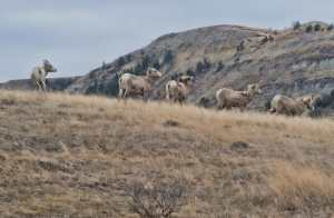 Most of the state's big horn sheep population thrives along the Long X Trail