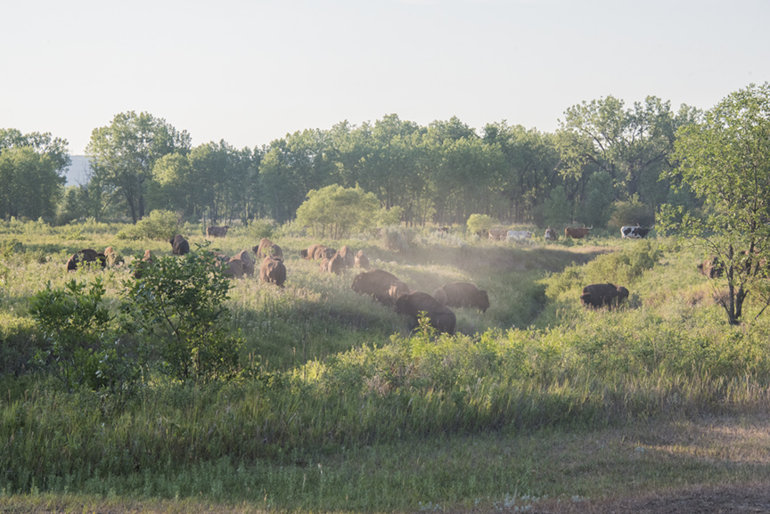 A herd of bison kicks up dust as it moves toward the river