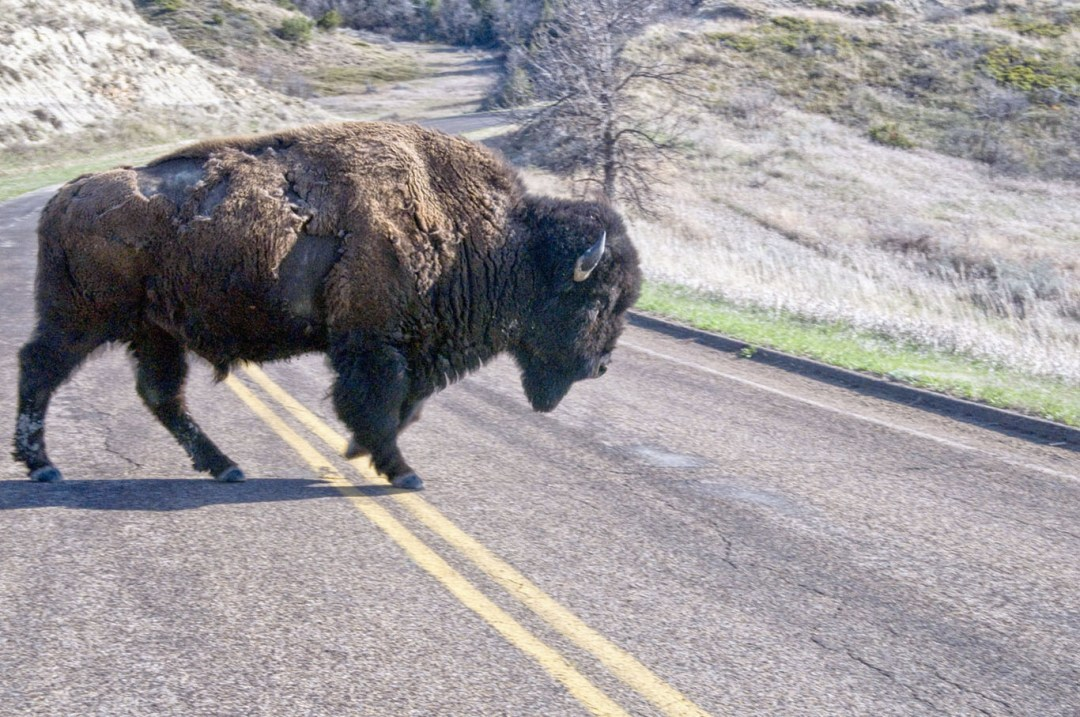 Bison get the right-of-way in the Theodore Roosevelt National Park.