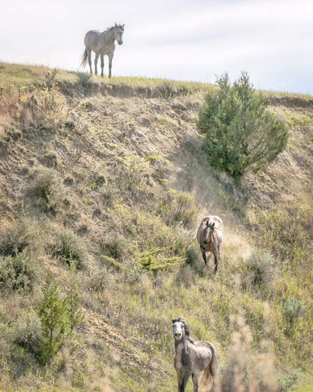 wild horses at the Theodore Roosevelt National Parkl