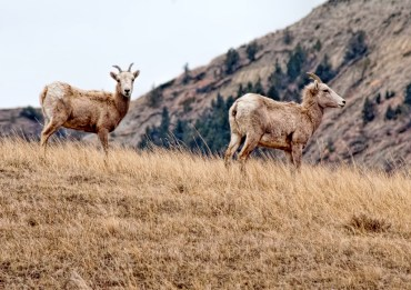 Two bighorn sheep pause on a hill in the North Dakota Badlands.