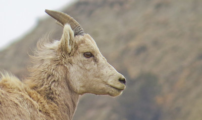 head shot of a bighorn ram in the North Dakota Badlands.