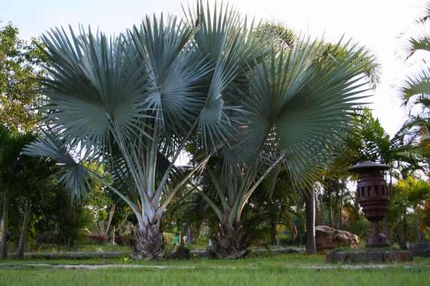 Silver Bismark Palm Tree
