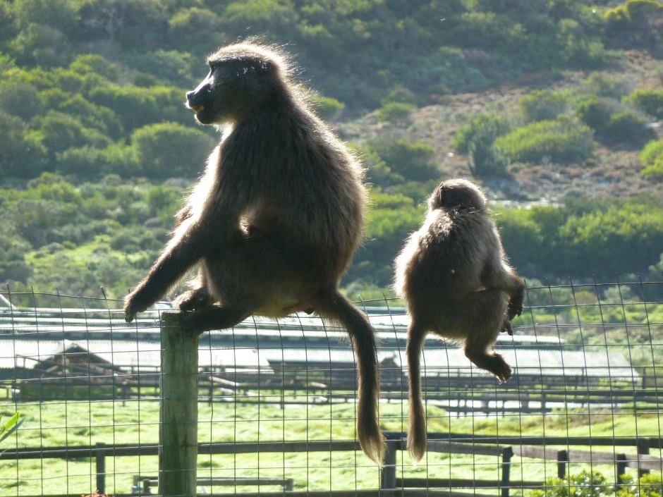 https://i2.wp.com/beautifuldaytours.co.za/wp-content/gallery2/cape-of-good-hope-tour/chacma-baboons.jpg?resize=940%2C705