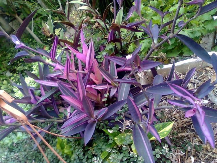 Tradescantia pallida Purple Heart