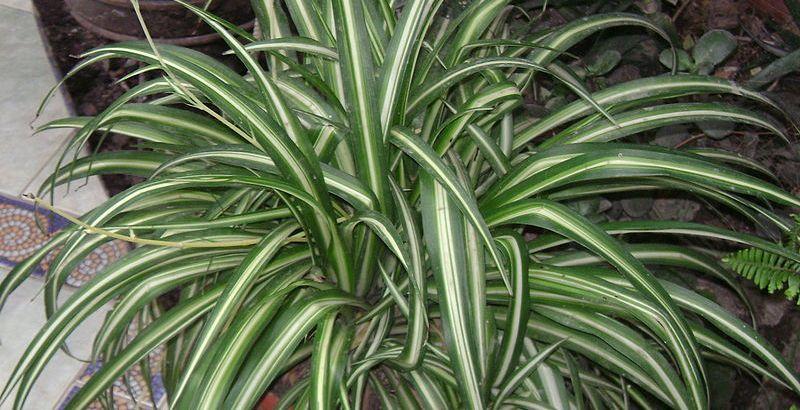 Chlorophytum la pianta che sembra camminare come un ragno