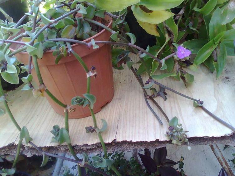 La Callisia navicularis conosciuta anche come tradescantia navicularis, Phyodina navicularis è una pianta strisciante, perenne, succulenta con foglie dure e cerose, profondamente biforcate, lanceolate lunghe fino 3 cm, larghe fino 2 cm, di colore verde bronzo sopra e strisce viola sotto