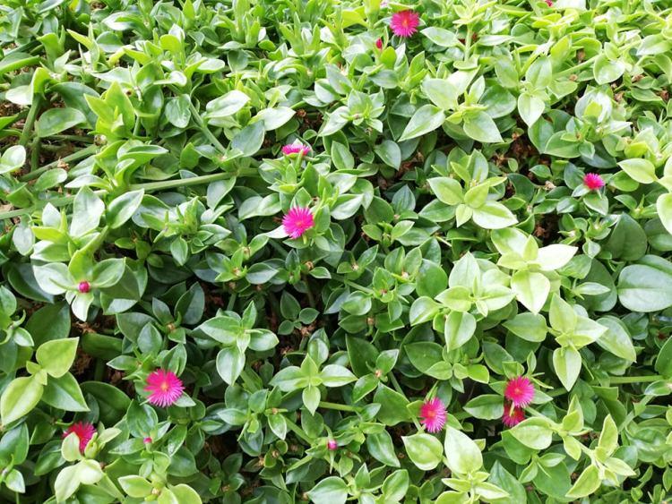 """Aptenia cordifolia """"Mela Rossa""""è un ibrido a fiori rossi che nasce dall'unione tra la vera Aptenia cordifoliae l'Aptenia (Platythyra) haeckeliana."""