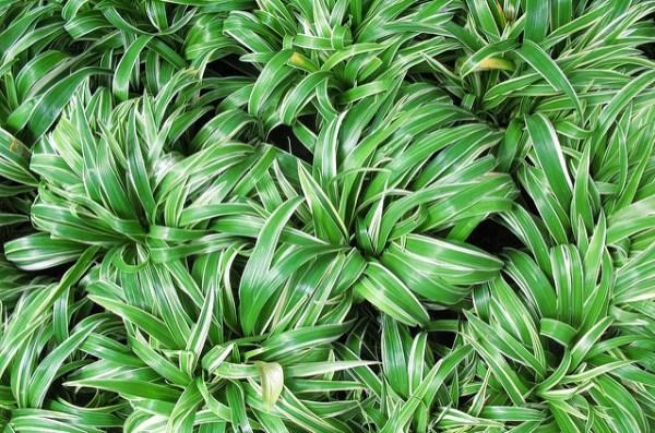 Chlorophytum laxum o bichetii