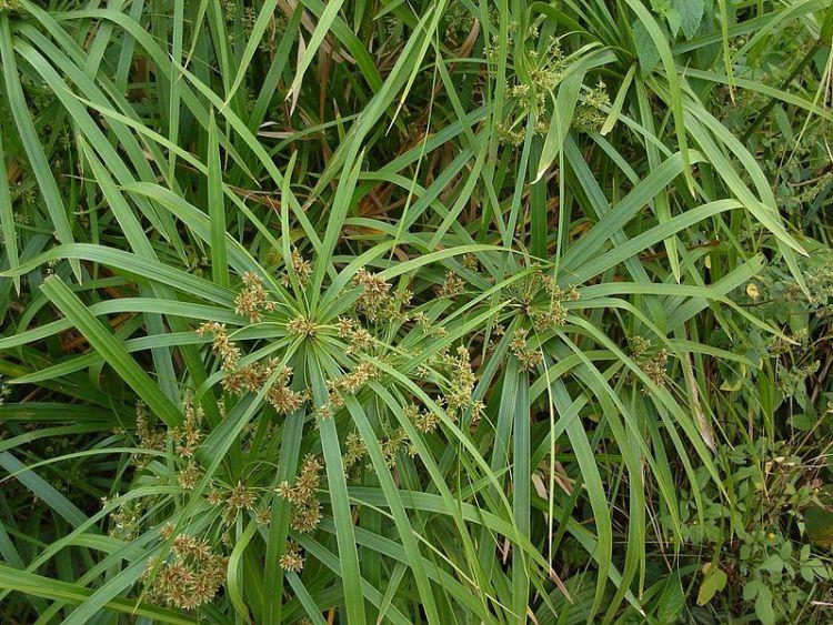 Cyperus pianta ornamentale molto diffusa,con fusti alti e sottili che portano foglie dalle brattee a raggiera simili alle bacchette di un ombrello aperto