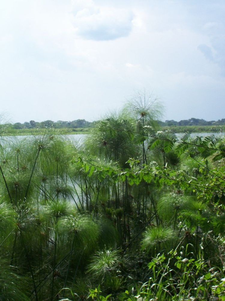 Questa è una foto del Cyperus Papirus che cresce spontaneamente lungo le rive del fiume Nilo in Uganda. È stata scattata da Michael Shade nell'autunno del 2006.