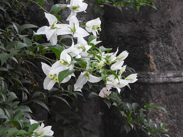 Bougainvillea spectabilis bianca in India