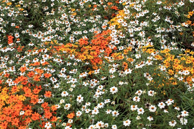 Zinnia angustifolia, foto di TANAKA Juuyoh (CC BY 2.0)