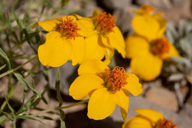 Zinnia grandiflora – Foto di Patrick Alexander (CC BY-NC-ND 2.0)