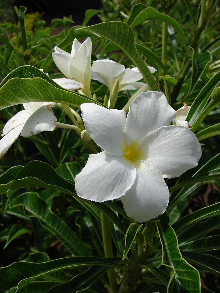 Plumeria pudica By Forest & Kim Starr, CC BY 3.0,  commons.wikimedia.org