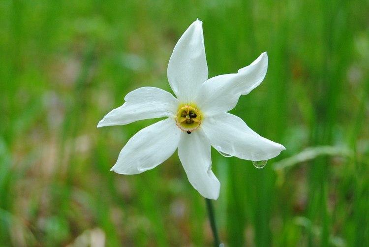 Narciso poeticus nel prato  di Daffodil, Brașov County, Romania Di Daniel Pandelea - Opera propria, CC BY-SA 3.0,  commons.wikimedia.org