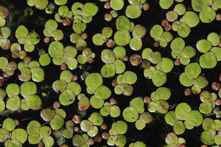 Primo piano della specie di lenticchia di palude Spirodela polyrhiza, vista dall'alto sulla superficie di una piscina