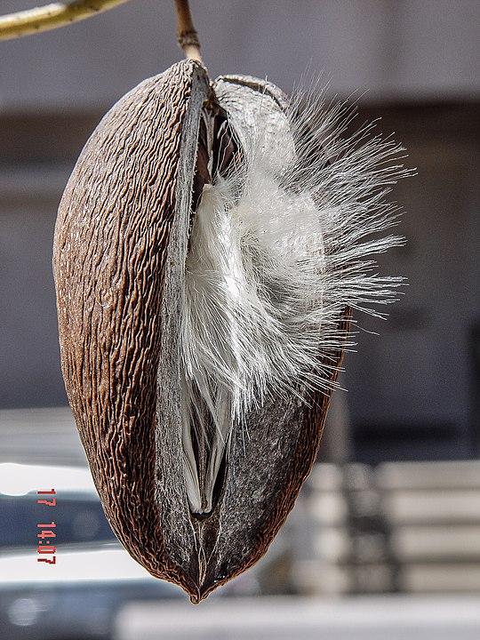 Stephanotis floribunda baccello secco - i semi con 'paracadute' sono ancora dentro