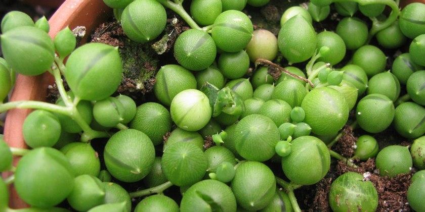 Senecio rowleyanus foglie