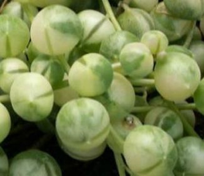 Senecio rowleyanus variegato
