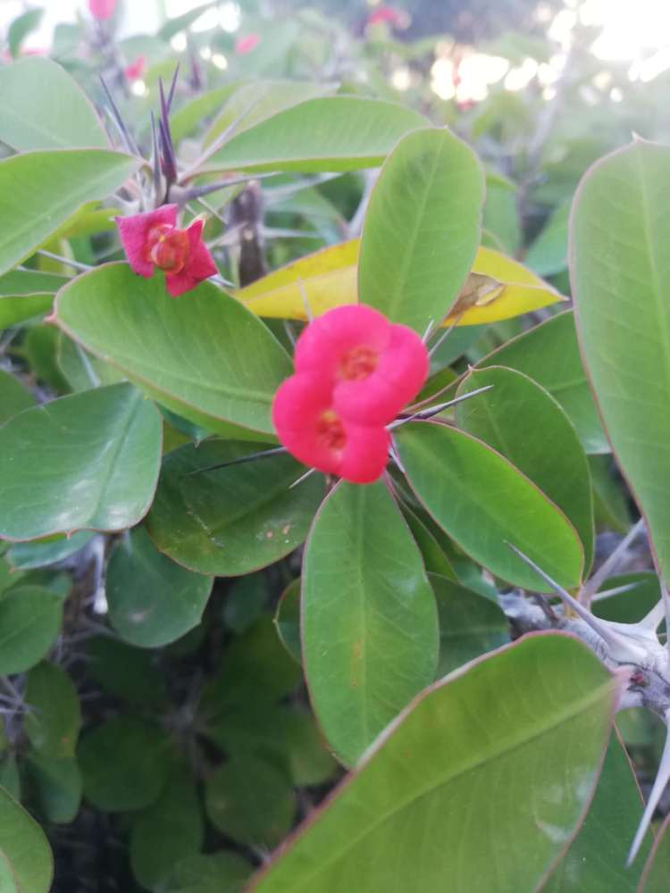 Euphorbia milii varietà splendens