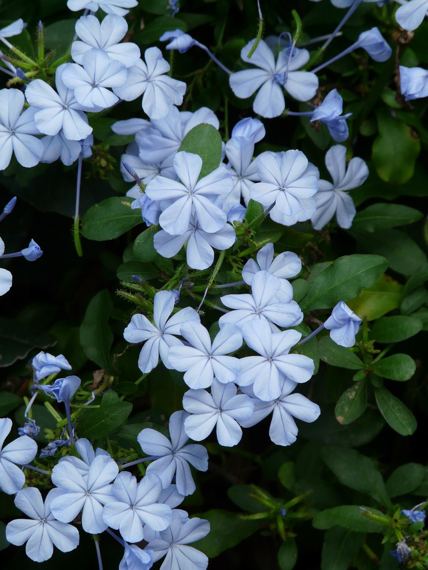 Plumbago il gelsomino azzurro pianta dalla lunga e raffinata fioritura