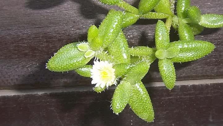 Delosperma echinatum comunemente chiamata cactus del cetriolo con i suoi fiori che sono gialli e bianchi.