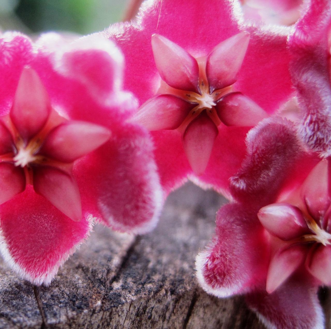 L'Hoya la  pianta con i fiori di cera