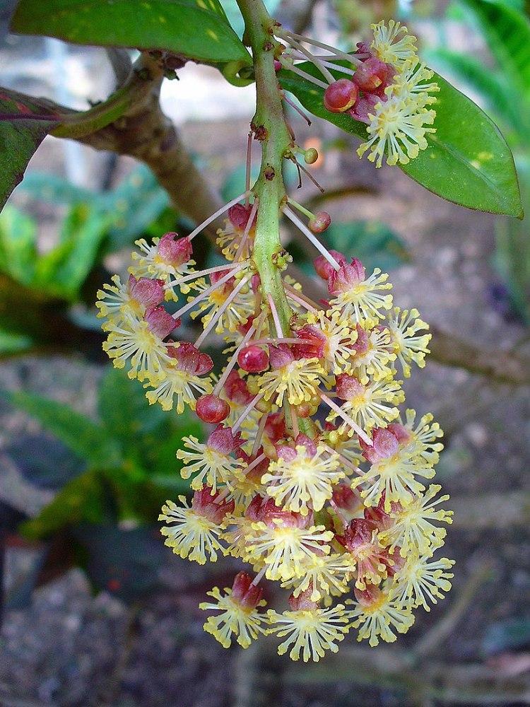 Fioritura Croton Codiaeum variegatum