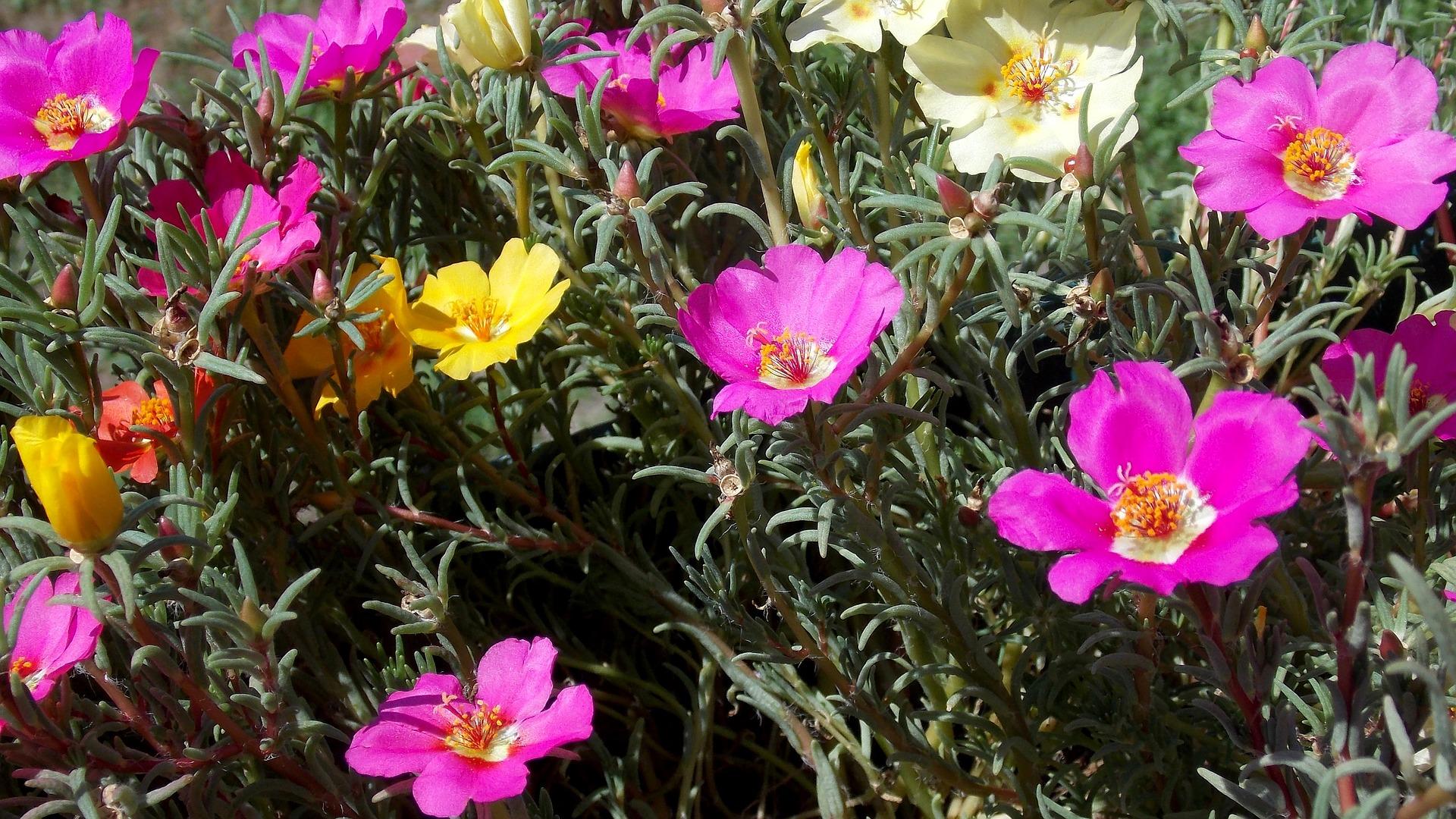 Portulaca grandiflora pianta annuale con foglie carnose, facile da coltivare