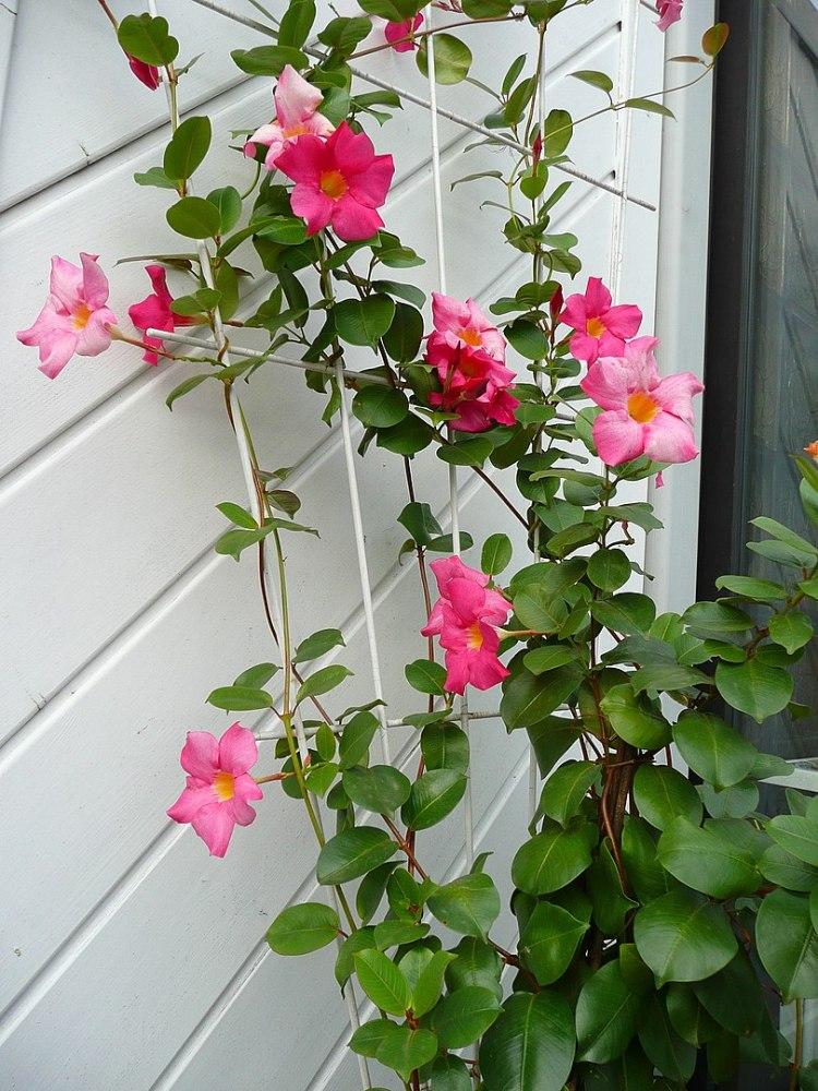 Dipladenia sanderi (Sundaville) hybrida