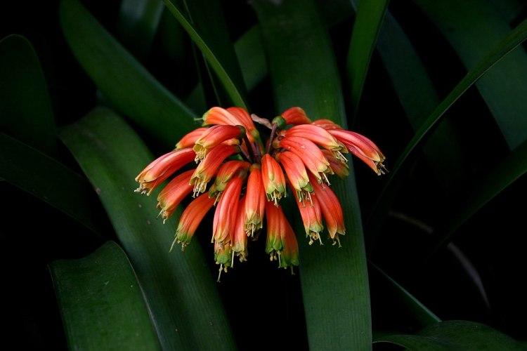 Fiori di Clivia nobilis Lindl., Pretoria, Sud Africa.