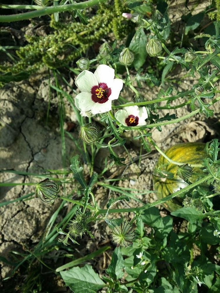 Ibiscus trionum