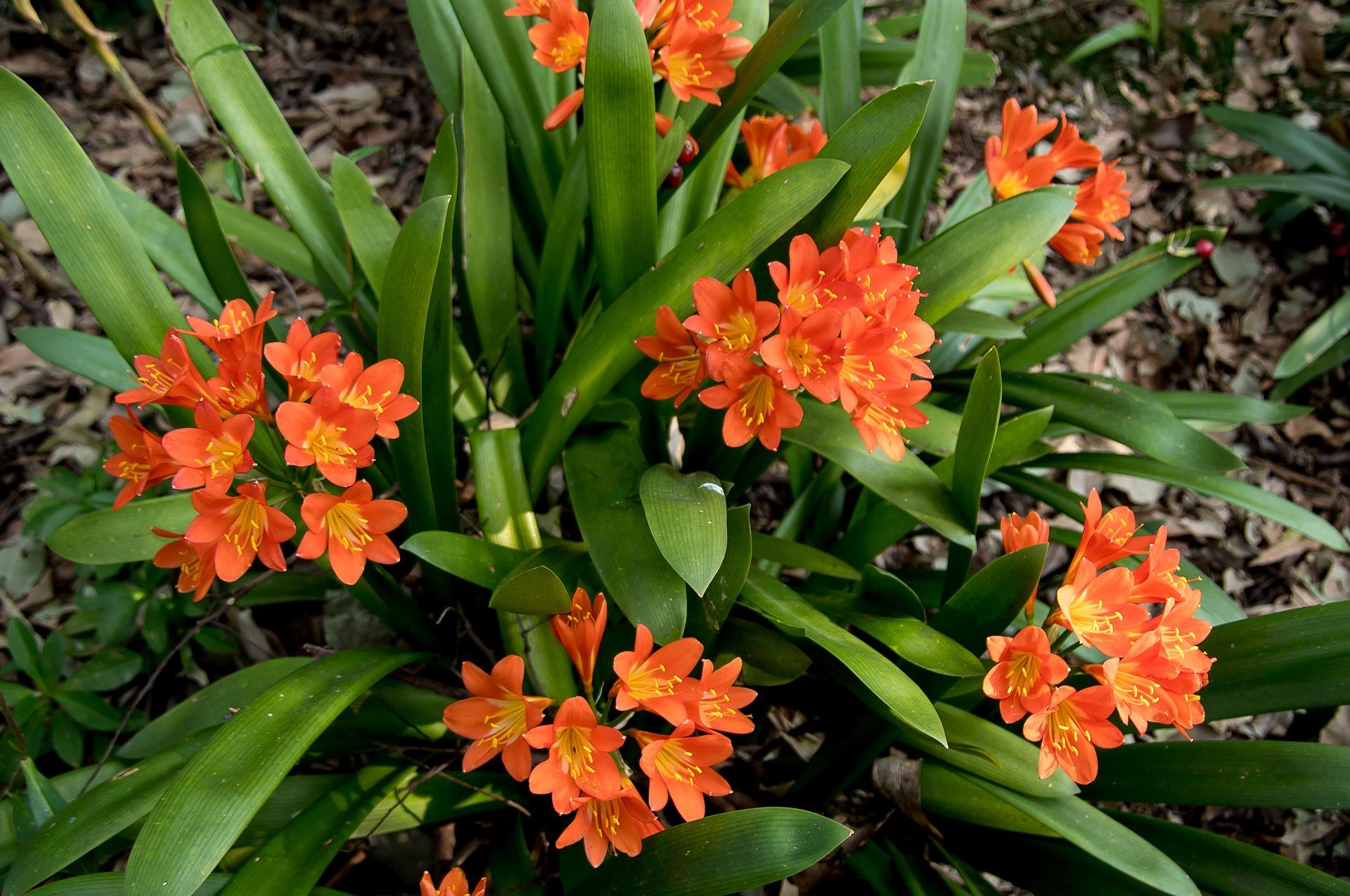 Clivia la pianta che simboleggia la generosità per l'abbondanza delle fioriture