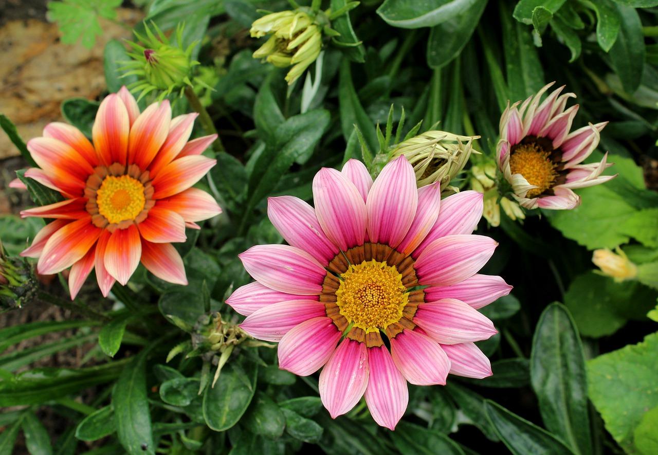 Gazania la pianta dalla continua e prolungata produzione di fiori