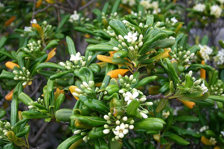 Pittosporo Tobira. Foglie e fiori della Pittospora giapponese (Pittosporum tobira)