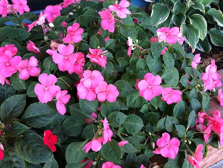 Impatiens walleriana con fiori di colore rosa che sbocciano nel tardo autunno lungo Metrotech Drive presso il centro commerciale Sully Place a Chantilly, Fairfax County, Virginia