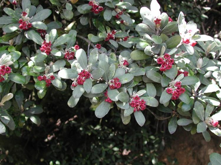 Pittosporo crassifolium. Foto scattata  nel giardino di Pukerua Bay nell'agosto 2003