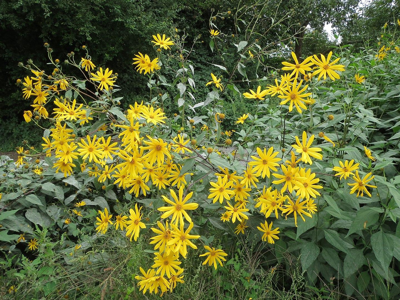 Topinambur tra le poche piante che fioriscono in autunno