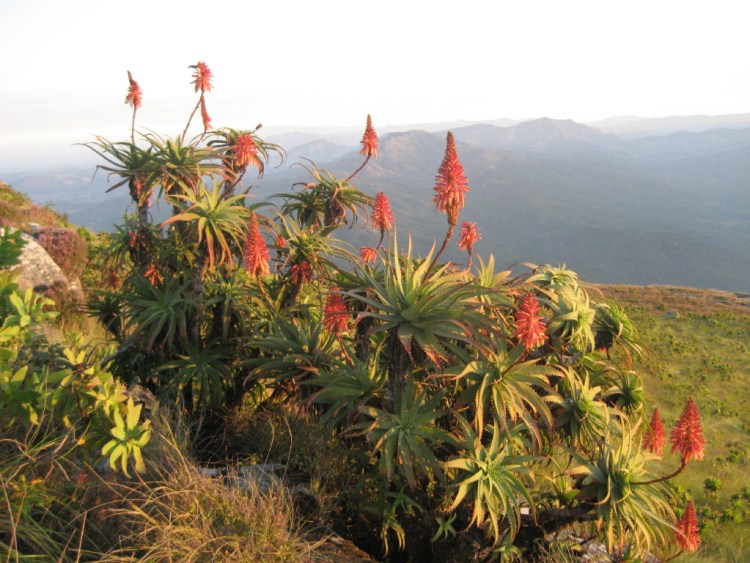 Aloe arborescens on Mount Gurungue (1950 m.a.s.) in Manica district of Mozambique.